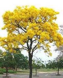 Ipê-Amarelo