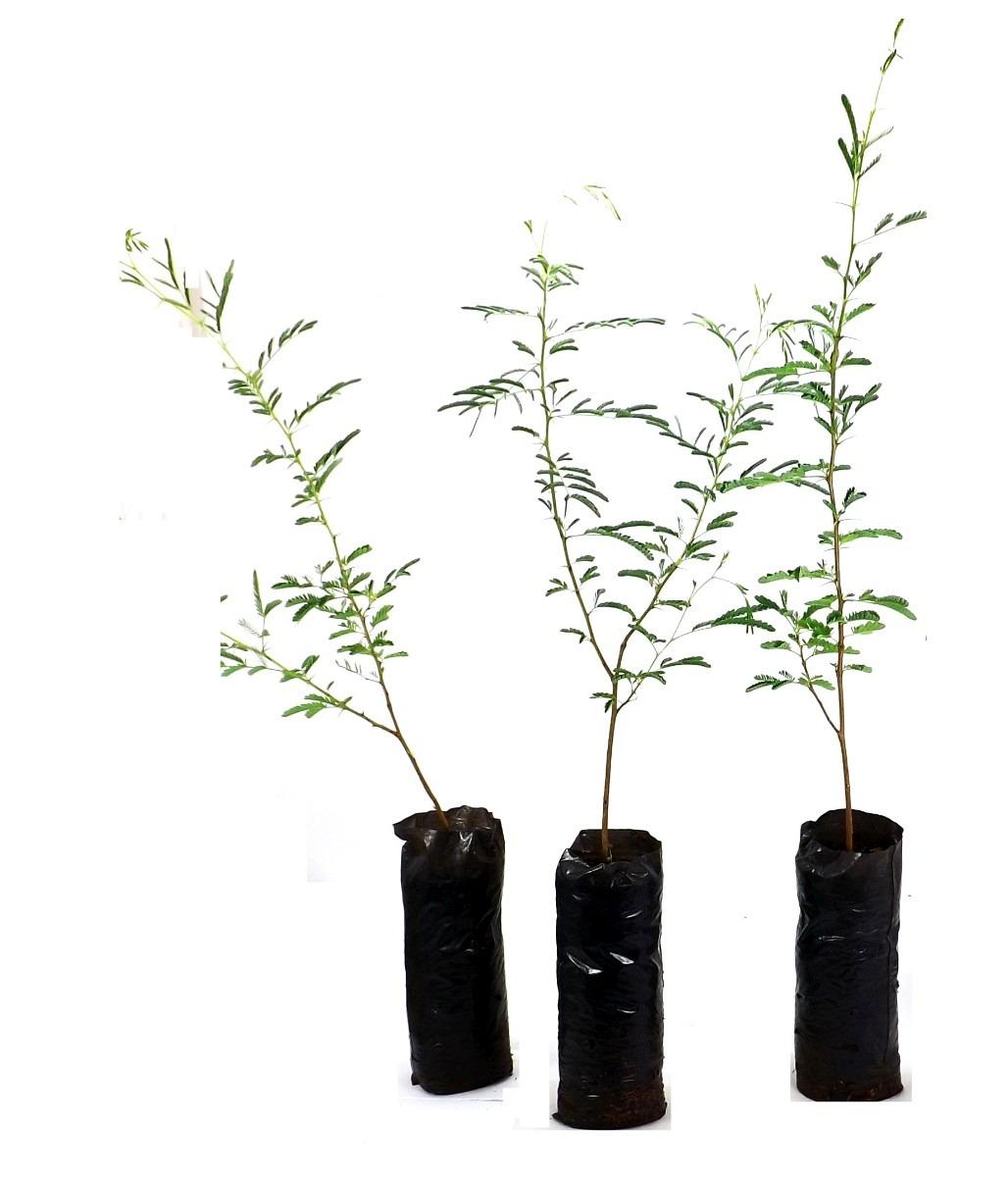 Programa incentiva o fomento Florestal